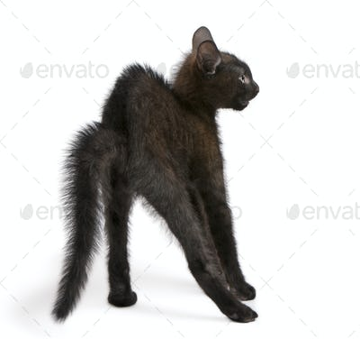 Frightened black kitten standing in front of white background