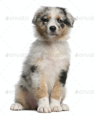 Blue Merle Australian Shepherd puppy, 10 weeks old, sitting in front of white background
