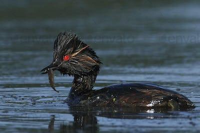 Black-necked grebe (Podiceps nigricollis)