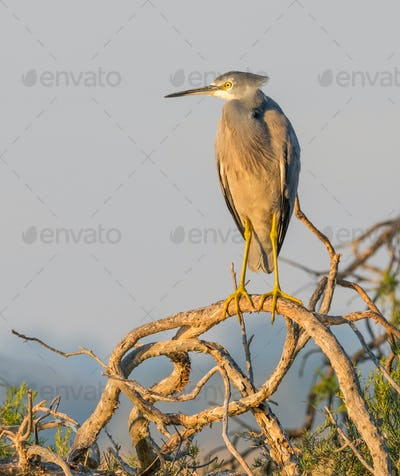 White-Faced Heron on a Tree