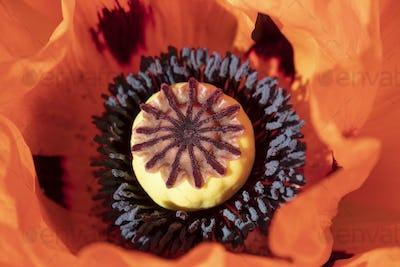 Red flowering poppy
