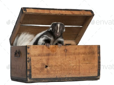 Striped Skunk, Mephitis Mephitis, 5 years old, coming out of box in front of white background