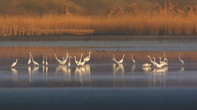 Group of Great Egret
