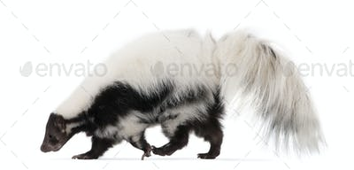 Striped Skunk, Mephitis Mephitis, 5 years old, standing in front of white background