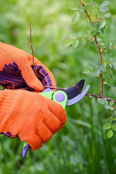 Spring pruning roses in the garden, gardener's hands with secateur