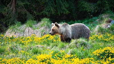 Blond brown bear with pale fur looking aside on a meadow with flowers in spring