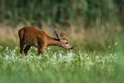 Elegant roe deer doe stretching neck and sniffing a flower on blooming meadow