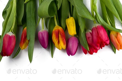 beautiful color Tulpan isolated on white background