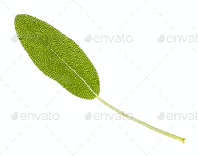 fresh leaf of sage (salvia officinalis) isolated