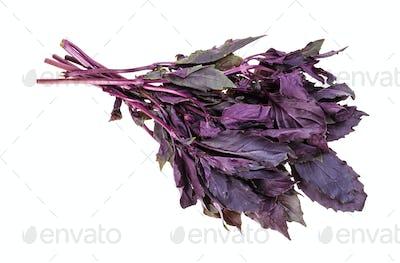 bunch of fresh dark purple basil herb isolated