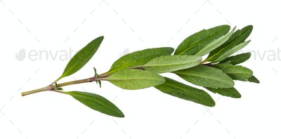 leaves of fresh hyssop (hyssopus) herb isolated