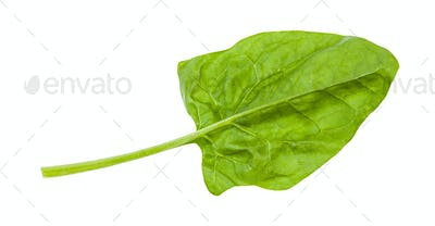 gren leaf of spinach herb isolated on white