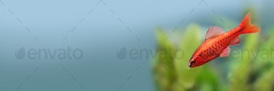 Red color tropical fish Barb Puntius titteya on blurred blue background. copy space.