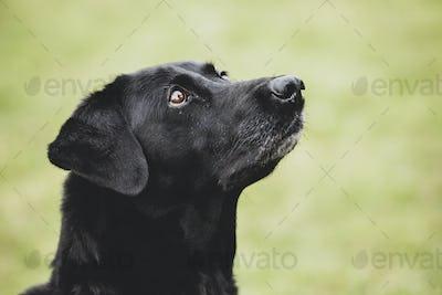 Close up of a Black Labrador dog.