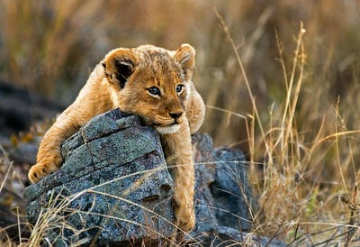 A lion cub, Panthera leo, lies on a boulder, draping its fron legs over the rock, looking away,