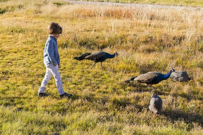 6 year old boy walking with peacocks in a field at sunrise