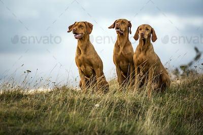 Portrait of three Vizla dogs sitting on a meadow.