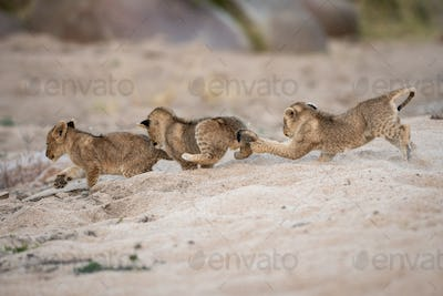 Three lion cubs, Panthera leo, play and chase each other in sand.