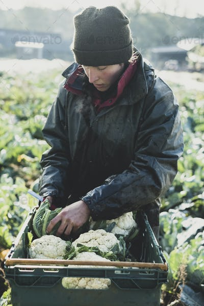 Woman standing in field, putting freshly harvested cauliflowers in plastic crate.