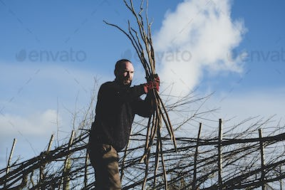 Bearded man holding bunch of wooden pleachers, building a traditional hedge.