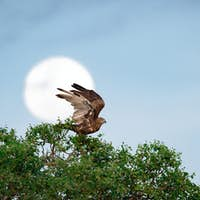 A brown snake eagle, Circaetus cinereus, stands at the crown of a tree, wings up about to fly, full