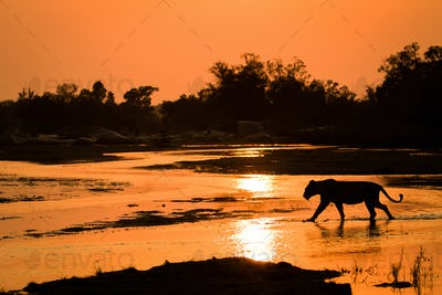A silhouette of a lioness, Panthera leo, walking across shallow river with reflections of the sunset