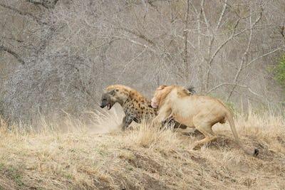 A male lion, Panthera leo, bites a spotted hyena, Crocuta crocuta, on its back