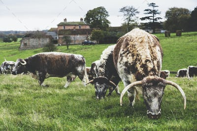 Herd of English Longhorn cows grazing on a pasture.