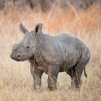 A rhino calf, Ceratotherium simum, stands in brown dry grass and looks at a fork-tailed drongo,