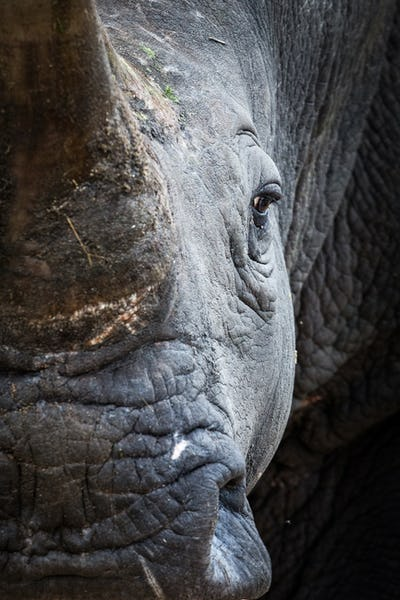A rhino's head, Ceratotherium simum, direct gaze