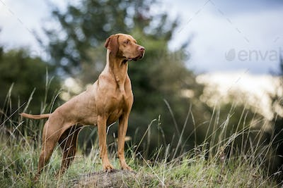 Portrait of Vizla dog standing on a meadow.