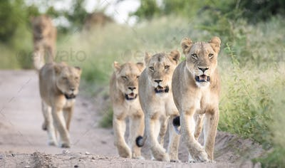 A pride of lions, Panthera pardus, walk in a line down a sand road flanked by green grass, looking