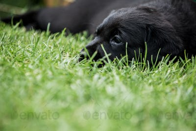 Close up of Black Labrador puppy lying on grass.