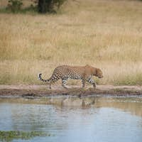 A leopard, Panthera pardus, walks parallel to a waterhole, looking away, front leg raised, green
