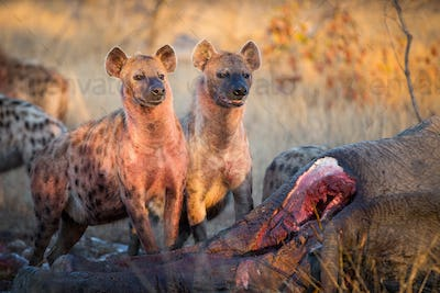 Two spotted hyenas, Crocuta crocuta, stand together at an elephant carcass, Loxodonta africana,