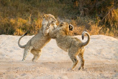 Two lion cubs, Panthera leo, stand on their hind legs in sand while playing, paws in the air, tails