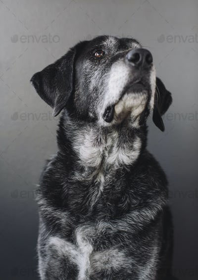 A mixed breed dog with a black coat, a therapy dog, a mixed breed of Great Pyrennean mountain dog