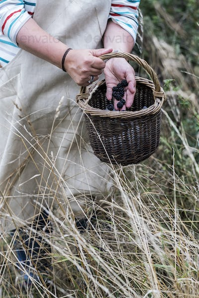 Close up of person wearing apron holding brown wicker basket, full of picked blackberries.