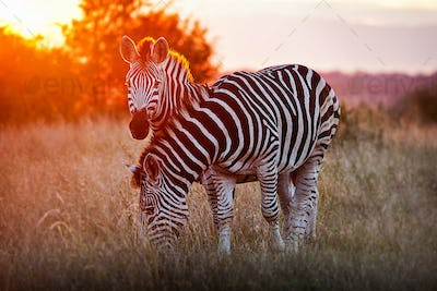 Two zebra, Equus quagga, standing in dry brown grass, backlit at sunset, one looking up one grazing.