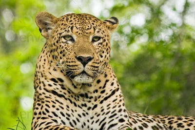 A leopard's head, Panthera pardus, lying down, alert, yellow eyes, drooling, green dappled