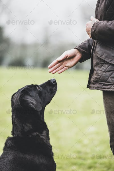 Close up of a dog trainer giving a hand command to Black Labrador dog.