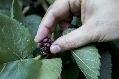 High angle close up of person picking fresh blackberry.
