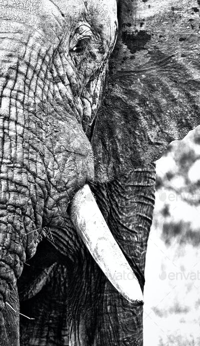 A close up of an elephant's head, Loxodonta africana, in black and white