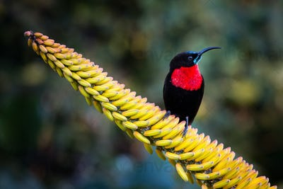 A scarlet-chested sunbird, Chalcomitra senegalensis, perches on a candelabra aloe flower, Aloe