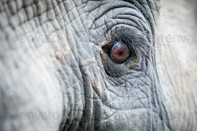 An elephant's eye, Loxodonta africana, long eyelashes, creased skin, direct gaze