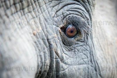 An elephant's eye, Loxodonta africana, long eyelashes, creased skin, direct gaze