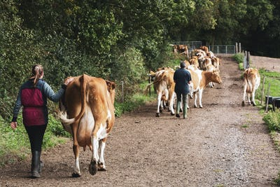 Young woman driving herd of Guernsey cows along a rural road.