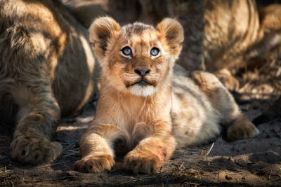 A lion cub, Panthera leo, lies on the ground and looks up out of frame, yellow blue eyes, golden