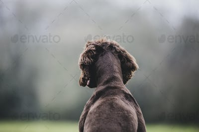 Rear view of Brown Spaniel dog sitting in a field.