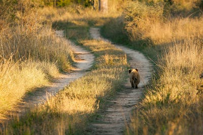 A young lion cub, Panthera leo, walks down the track of a road, back to camera, sunlight on green